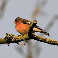 Chaffinch (male)