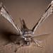 Apochima flabellaria by macropoulos