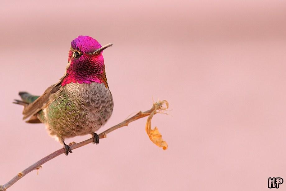 Anna's Hummingbird 010212-2