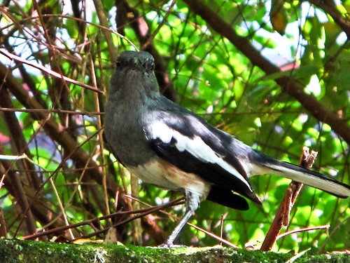 IMG_0741 Magpie at the backyard 后院的喜鹊