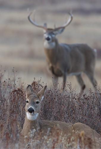 Whitetail Deer Breeding Pair | Flickr - Photo Sharing!