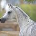 Arabian Horses by HANI AL MAWASH