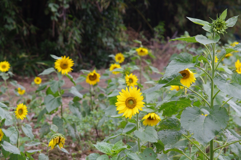 陰天的向日葵~