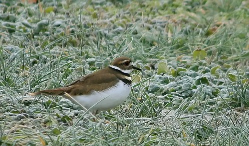 Killdeer seen near the Distillery Lake in Boston, KY