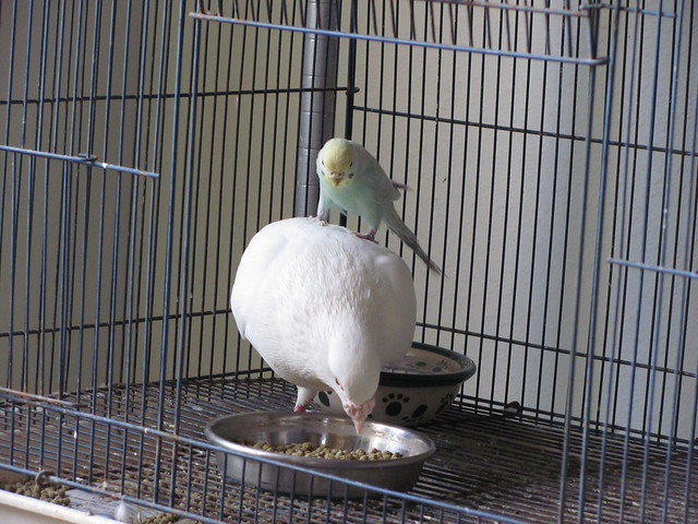 Pigeon and Budgie 05