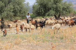 El Aroussa - Un des bergers en action (09_2011)