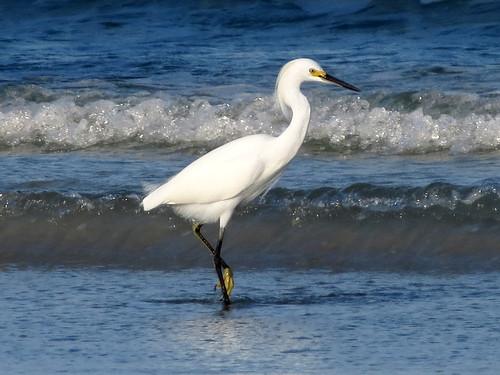 Snowy Egret | posing