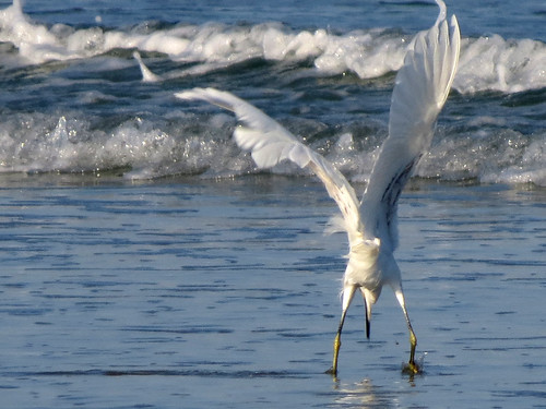 Snowy Egret | caught!