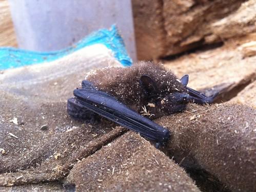 Found bat