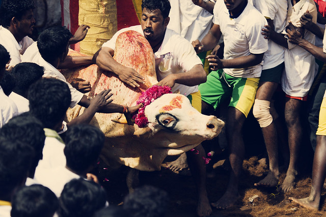 Man Versus Bull - The Jallikattu Sport Series | Explored