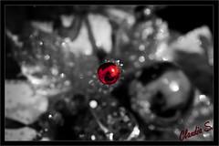 AFD-P52-S4 Último Destello de Navidad