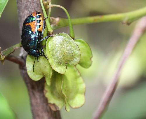 Jewel Bug - Scutelleridae sp.