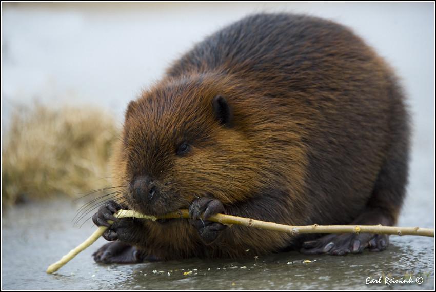 Baited Beaver (1201125-1075)