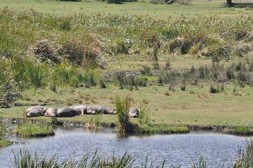 Lounging hippos