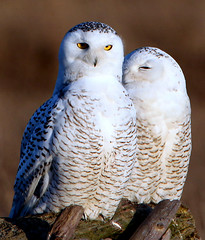 [Free Images] Animals 2, Owls, Snowy Owl, Animals - Couple ID:201201301600