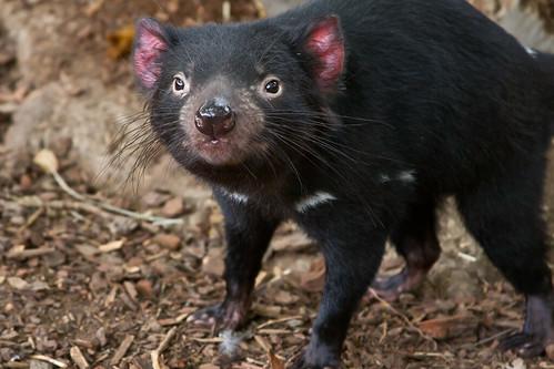 Tasmanian Devil - Canberra Zoo by kaz86