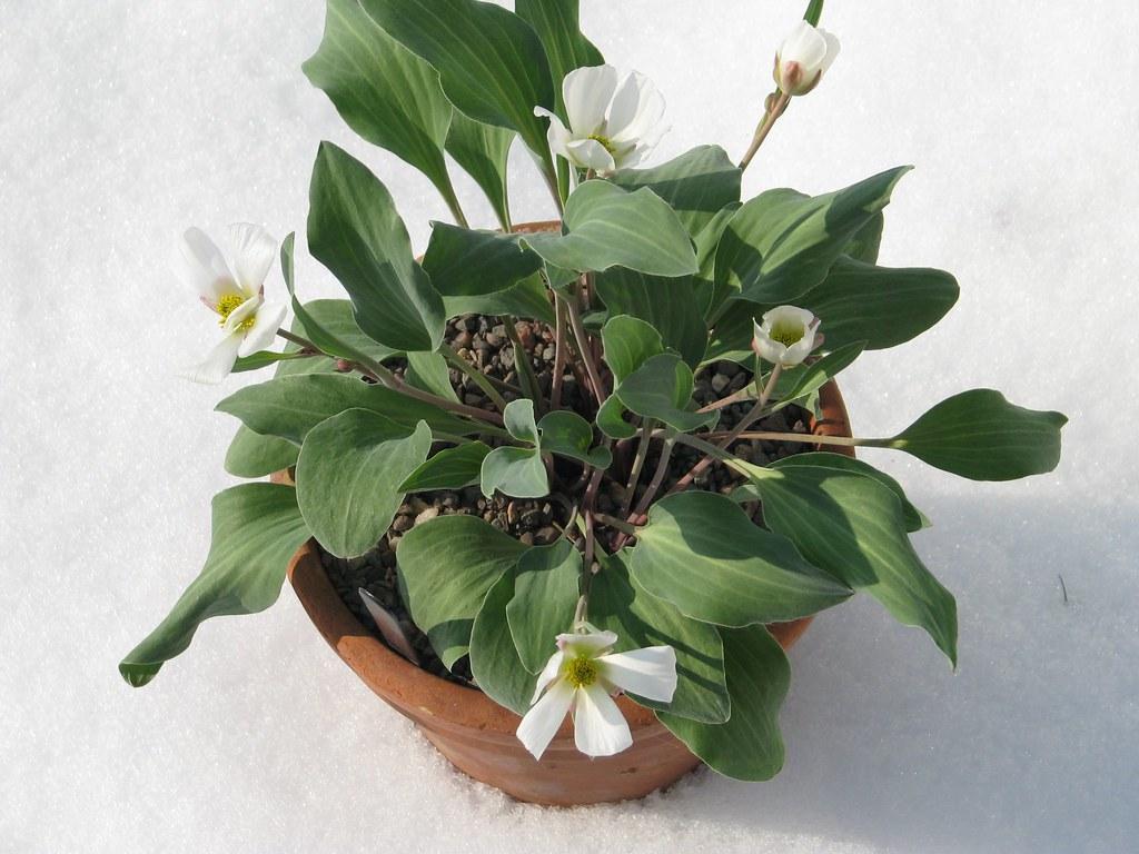 Ranunculus calandrinoides
