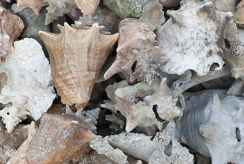 Old Conch Shells