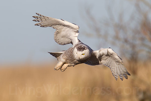 Snowy Owl in Flight, Ocean Shores, Washington