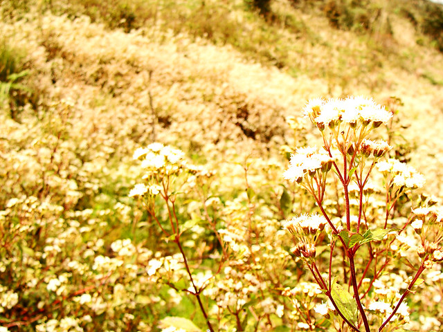 Wildflowers at Mount Pulag