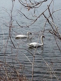 Swans on the Huron River
