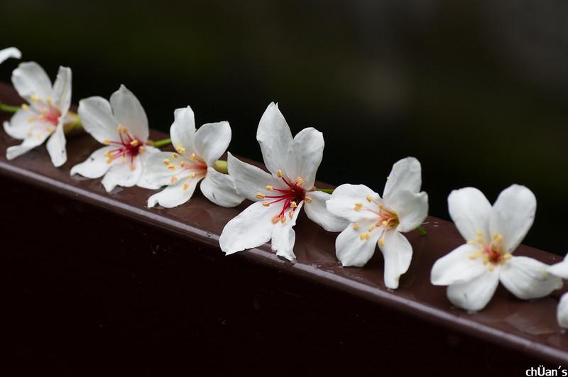 油桐花盛開了~