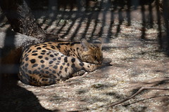 animal, zoo, small to medium-sized cats, mammal, fauna, ocelot, wildlife,