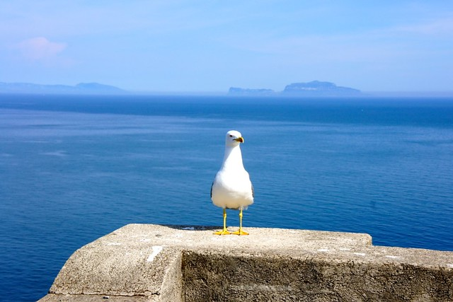 Gull in Ischia with Capri