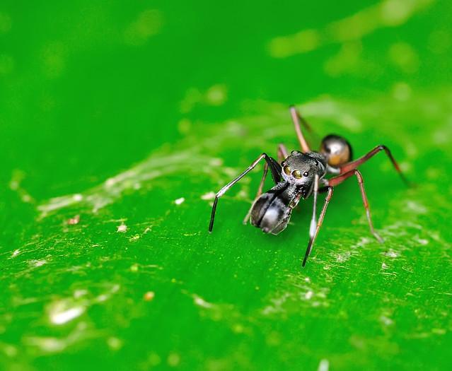 Myrmarachne maxillosa | Ant Mimic Spider