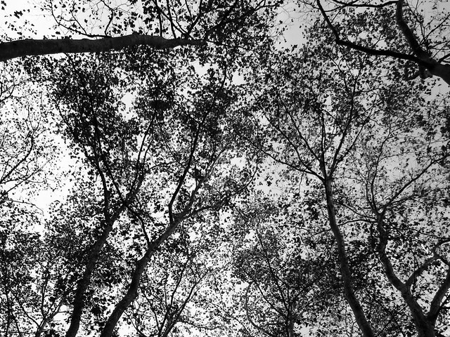 Sycamore canopy
