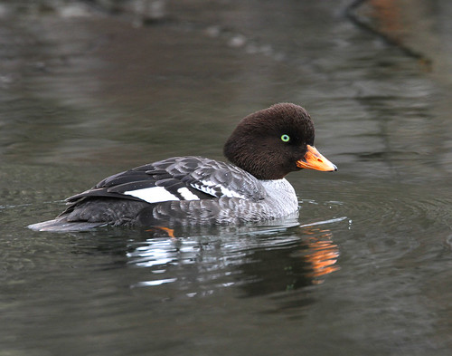 Barrows Goldeneye (Female