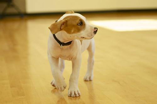 puppy by lorenzo di lorenzini