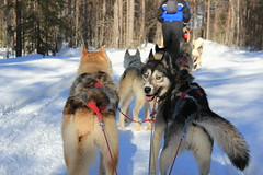 vehicle(0.0), dog(1.0), winter(1.0), pet(1.0), mammal(1.0), mushing(1.0), greenland dog(1.0), dog sled(1.0), sled dog racing(1.0), sled dog(1.0),
