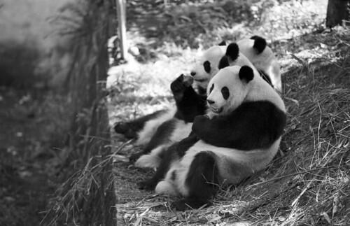 three panda bears by narkevich_andrey