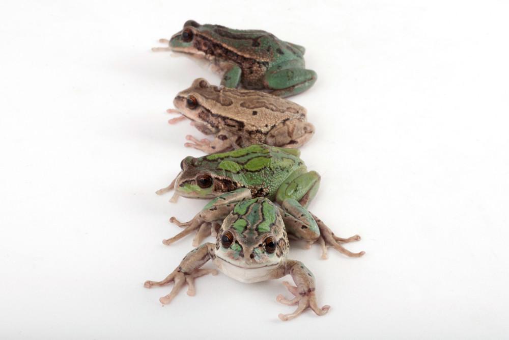 Hemiphractidae: Gastrotheca riobambae