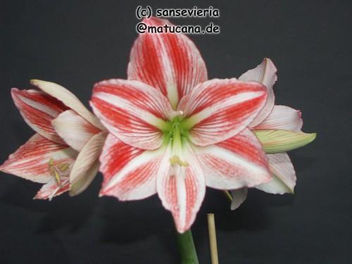 amaryllis ritterstern hippeastrum ii beliebte pflanzen erfahrungen green24 hilfe pflege. Black Bedroom Furniture Sets. Home Design Ideas