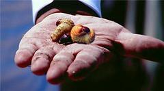 Bán, Phân Phối Con Đuông, Kiến Vương (Kiến Dương): Đuông Đất, Đuông Dừa, Đuông Chà Là, Đuông Cau, Đuông Đủng Đỉnh, Đuông Mía (Đuông sống hoặc được nuôi trong cây Mía)
