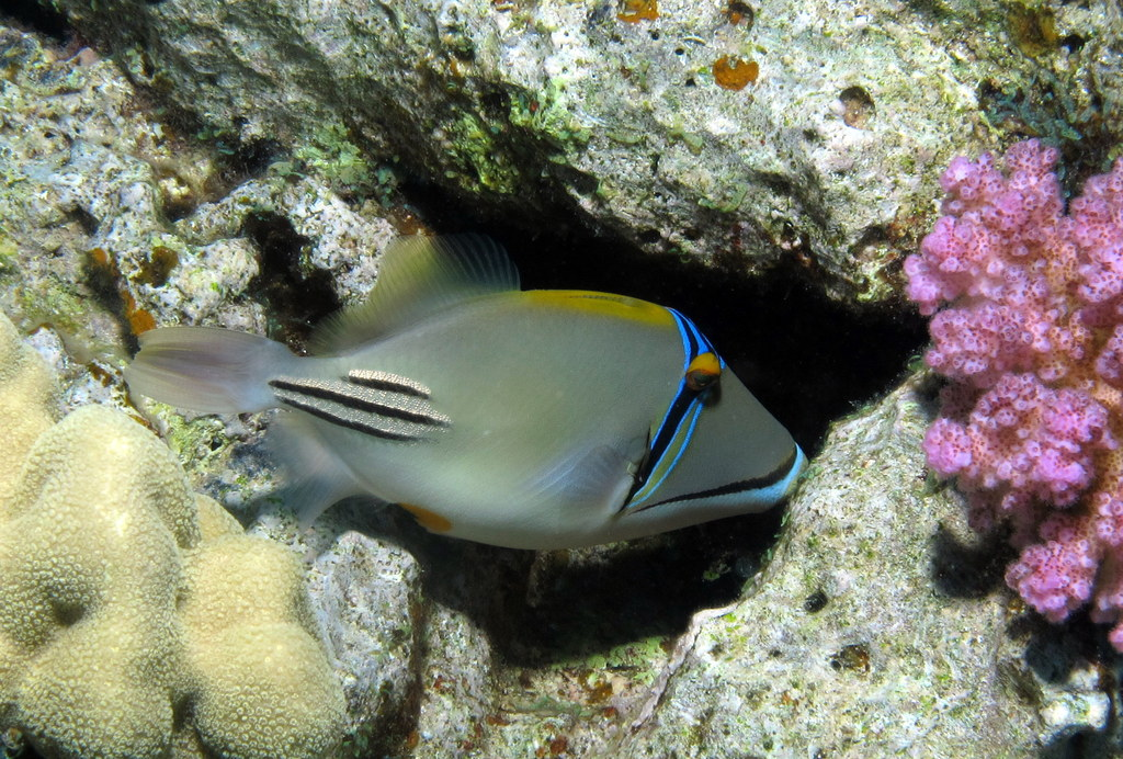 Picassofish (a triggerfish), Rhinecanthus assasi at Shelenyat Reef, Red Sea, Egypt