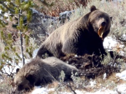 grizzly eating deer ca...