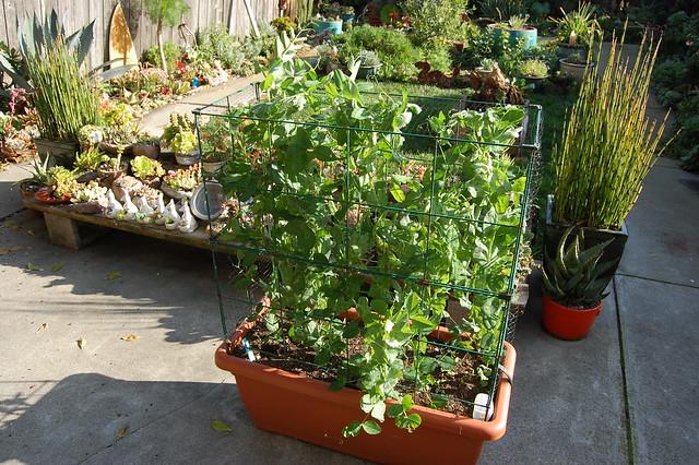 Oregon Sugarpod II - Pisum sativum