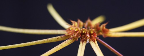 Bulbophyllum makoyanum close up