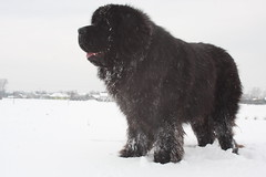bouvier des flandres(0.0), portuguese water dog(0.0), barbet(0.0), dog breed(1.0), animal(1.0), dog(1.0), caucasian shepherd dog(1.0), snow(1.0), pet(1.0), newfoundland(1.0), carnivoran(1.0),