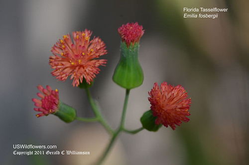 Florida Tasselflower, Flora's Paintbrush, Florida Tassel Flower - Emilia fosbergii