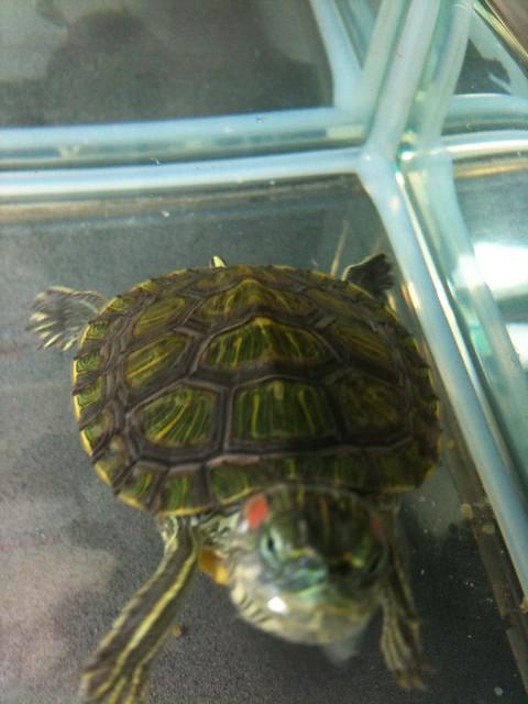 什么样的乌龟健康-龟壳绿色与绿色之间果条线比之前粗左,系因咩事?系咪因为太深水?