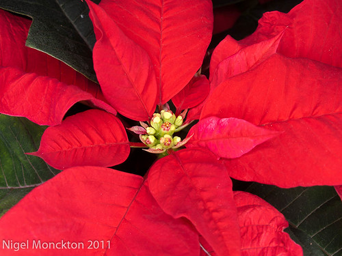 1000/679: 22 Dec 2011: Poinsettia by nmonckton