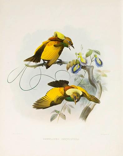 016-Ave del Paraiso alas de oro-A Monograph of the Paradiseidae-1873 D.G. Elliot