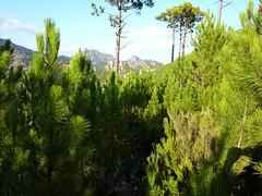 Punta Radichella par la sente de chasseurs : la sente sur la crête (devant Punta Balardia/Batarchjone)
