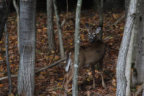 fall leaves fallcolors scenic deer beautifulcolors whitetaildeer femaledeer falllandscape