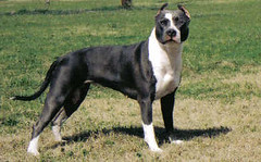 "UKC GR.CH. UWP 'PR' Buenos Aires Saphire Steel of Blue Rock ""Steel"""