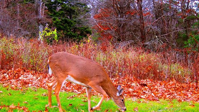 Deer near the Big Meadows Lodge